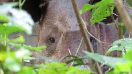Baird´s Tapir, Mittelamerikansicher Tapir, Tapirus bairdii