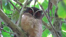 Spectacled owl, Brillenkautz, Pulsatrix perspicillata