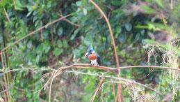 Amazon Kingfisher, Amazonasfischer, Chloroceryle amazona, Reserva Biologica Indio Maiz