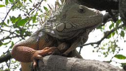 Green Iguana, Grüner Leguan, Iguana iguana