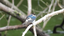 White-winged Swallow, Cayenneschwalbe, Tachycineta albiventer