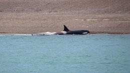 Orca, Schwertwal, Orcinus Orca