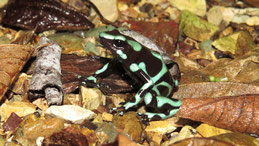 Green and Black Poison Dart Frog, Goldbaumsteiger,Dendrobates auratus