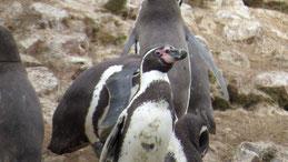 Humboldt Penguin, Humboldt-Pinguin, Spheniscus humboldti, Islas Ballestas
