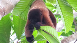 Brown Woolly Monkey, Brauner Wollaffe, Lagothrix lagotricha