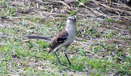 Chalk-browed Mockingbird, Camposspottdrossel, Mimus saturninus