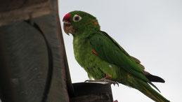 Crimson-fronted Parakeet, Veraguasittich, Psittacara finschi, San Juan del Sur