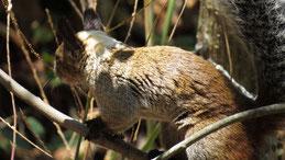 Variegated Squirrel, Bunthörnchen, Sciurus variegatoides, Vilcabamba