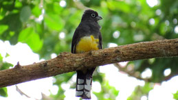 Black-headed Trogon, Schwarzkopftrogon, Trogon melanocephalus