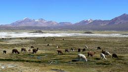 Llama, Lama, Lama glama, Lauca National Park