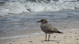 Grey Gull, Graumöwe, Leucophaeus modestus, Paracas Nacional reserve