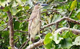 Mangrove heron, Mangrovenreiher, Butorides striata
