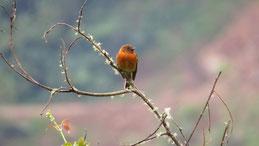 Cinnamon Flycatcher, Zimtfliegenfänger, Pyrrhomyias cinnamomeus, Jardin