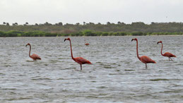 Red Flamingo, Kubaflamingo, Phoenicopterus ruber, Laguna de Oviedo