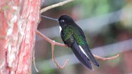 Collared Inca, Brustband-Andenkolibri, Coeligena torquata