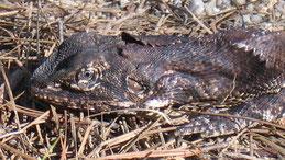 Frilled neck Lizard, Kragenechse, Chlamydosaurus kingii