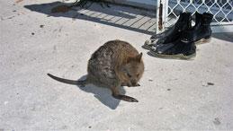 Quokka, Setonix brachyurus, Rottnest Island, Perth