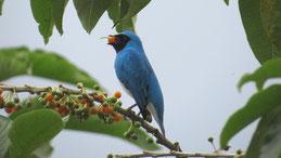 Swallow Tanager, Schwalbentangare, Tersina viridis, Mindo