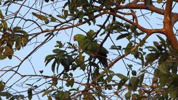 Red-lored parrot, Gelbwangenamazone, Amazona autumnalis