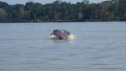 Amazon River Dolphin, Amazonasdelfin, Inia geoffrensis