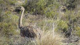 Lesser Rhea, Darwin Nandu, Rhea pennata