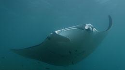 Reef manta ray, Riffmanta, mobula alfredi