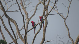 Red-and-Green Macaw, Grünflügelara, Ara chloropterus, Manu National Park