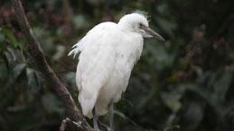 Snowy Egret, Schmuckreiher, Egretta thula