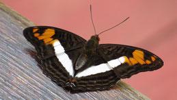 Butterflies, Peru, Tambopata