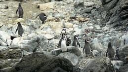Humboldt Penguin, Humboldt-Pinguin, Spheniscus humboldti, Humboldt NP