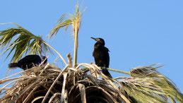 Neotropical Cormorant, Olivenscharbe, Phalacrocorax brasilianus, Arica