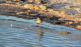 White-rumped sandpiper, Weißbürzelstrandläufer, Calidris fuscicollis