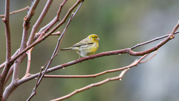 Atlantic canary, Kanarengirlitz, Serinus canaria