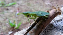 Peruvian shield mantis, Choeradodis rhombicollis, Peruanische Schildmantis, Refugio Bartola