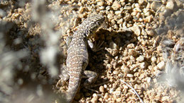 Lizard, Chile (unidentified)