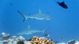 Grey reef shark, Grauer Riffhai, Carcharhinus amblyrhynchos