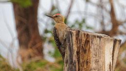 Hoffmann´s woodpecker, Hoffmannspecht, Melanerpes hoffmannii