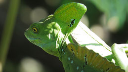 Green basilisk, Stirnlappenbasilisk, Basiliscus plumifrons