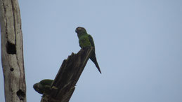 Dusky-headed Parakeet, Braunkopfsittich, Aratinga weddellii, Manu National Park
