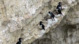Magellanic cormorant, Felsenscharbe, Phalacrocorax magellanicus