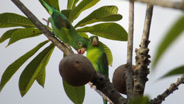 Orange-chinned Parakeet, Tovisittich, Brotogeris jugularis