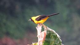 Oriole Blackbird, Oriolamsel, Gymnomystax mexicanus