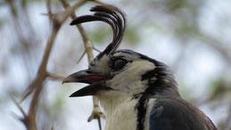 White-throated magpie-jay, Langschwanz-Häher, Calocitta formosa