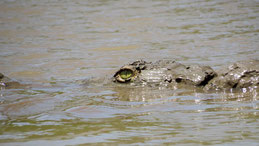 American crocodile, Spitzkrokodil, Crocodylus acutus