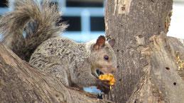 Variegated Squirrel, Bunthörnchen, Sciurus variegatoides