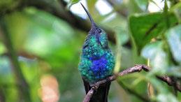 Sparkling Violetear, Großer Veilchenkolibri, Colibri coruscans, Mindo