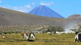 Alpaca, Alpaka, Vicugna pacos, Lauca NP