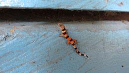 Caribbean least gecko (juvenile), Sphaerodactylus homolepis