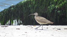 Whimbrel, Regenbrachvogel, Numenius phaeopus, Paracas National Reserve