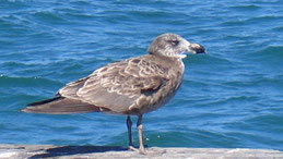 Pacific Gull, Dickschnabelmöwe, Larus pacificus